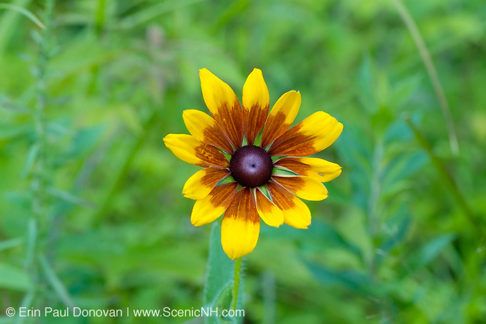 Coneflower-Rudbeckia speciosa- during the summer months in the White Mountains, New Hampshire USA.
