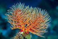 Christmas tree serpulid worm, Spirobranchus giganteus, Shikine-jima island, Tokyo, Japan, Pacific Ocean