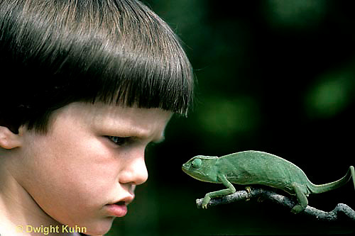 CH26-070z  African Chameleon -child staring at chameleon, chameleon staring back - Chameleo senegalensis