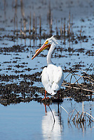 American White Pelican, Pelecanus erythrorhynchos, at Tule Lake National Wildlife Refuge, Oregon