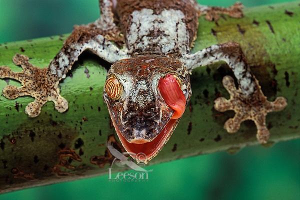 Henkel's Leaf-Tailed Gecko..Native to Madagascar. (Uroplatus henkeli)..Tongue cleans eye like a windshield wiper.