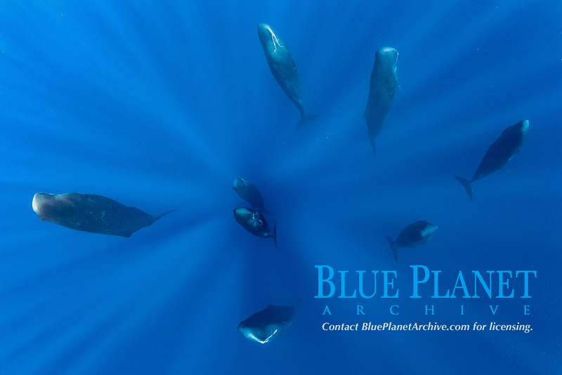 pod of sleeping sperm whales, Physeter macrocephalus, according to a study, sperm whales doze in the upright drifting posture for about 10 to 15 minutes at a time, Dominica, Caribbean Sea, Atlantic Ocean, photo taken under permit n°RP 16-02/32 FIS-5