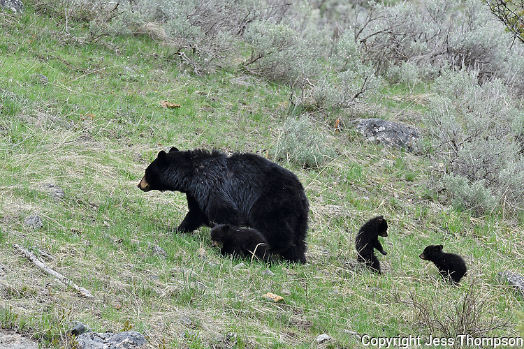 Black Bear with 3 cubs, Yellowstone
