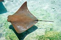 cownose ray, Rhinoptera bonasus (c)