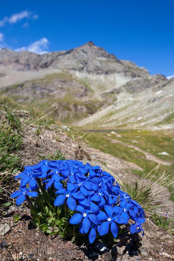 Spring Gentian {Gentiana verna subsp. verna} floweing on mountainside. Aosta Valley, Monte Rosa Massif, Pennine Alps, Italy. July.