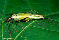 OR05-034a  Cricket - black-horned tree cricket - Oecanthus nigricornis