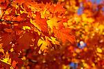 An oak tree in Lafayette Square displays full fall regalia.