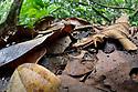 Amazonian Horned Frog (Ceratophrys cornuta) camouflaged amongst leaf litter on lowland rainforest floor, waiting to ambush passing prey. Manu Biosphere Reserve, Amazonia, Peru. November.