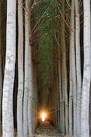 Pacific Albus trees. Morrow County, Oregon