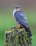 USA, California, Point Reyes National Seashore, merlin (Falco columbarius)