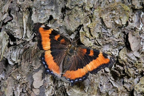 Milbert's Tortoise Shell buttterfly (Nymphalis milberti) rests on bark of Red Pine Tree (Pinus resinosa). Summer. Nova Scotia, Canada.