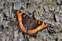 Milbert's Tortoise Shell buttterfly (Nymphalis milberti) rests on bark of Red Pine Tree (Pinus resinosa). Summer. Nova Scotia, Canada.