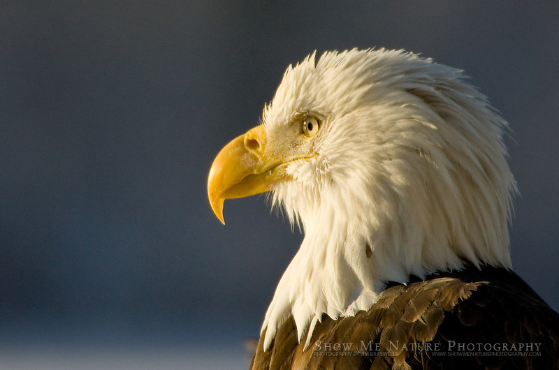 """Our Stately Bald Eagle"", Alaska"