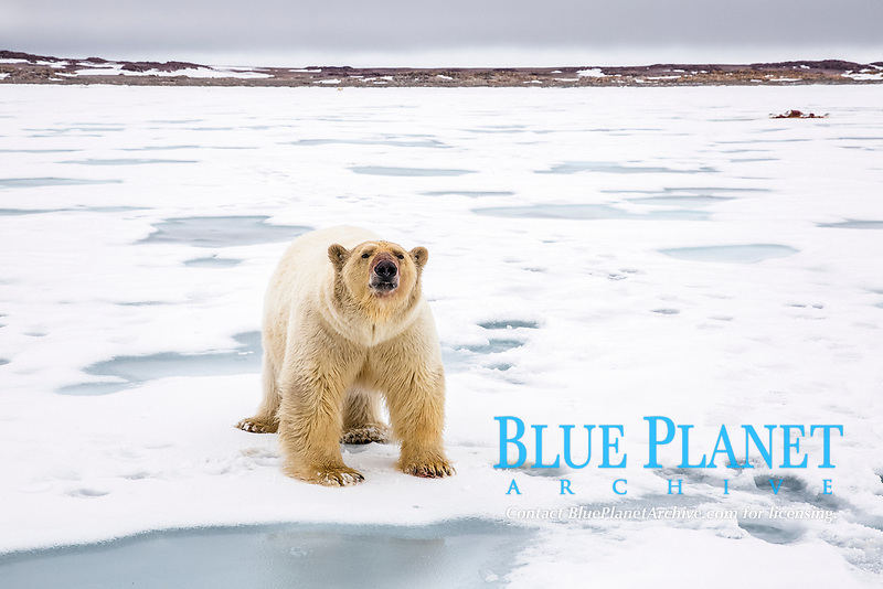 polar bear, Ursus maritimus, with bloody face, roaming on ice after feeding on Atlantic walrus, Odobenus rosmarus rosmarus, Spitsbergen, Svalbard, Norway, Arctic Ocean