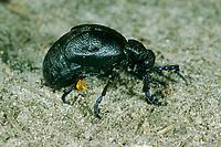 Schwarzblauer Ölkäfer, Schwarzer Maiwurm, Männchen, Meloe proscarabaeus, Meloë proscarabaeus, oil beetle, black oil beetle, European oil beetle, le Méloé printanier