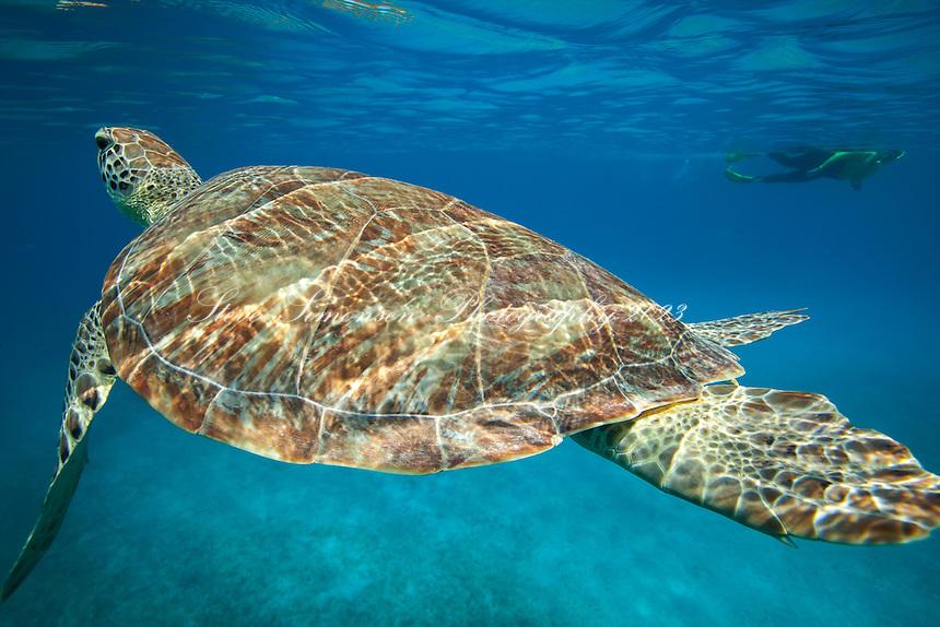 Green Sea Turtle <br /> Chelonia mydas<br /> Virgin Islands
