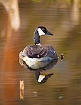 a lone canada goose on a pond in montana in spring season