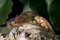 HO03-006c  Cicada Periodical adult emerging from skin Magicicada spp.