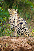 Jaguar (Panthera onca), adult is on the lookout at the riverbank, Pantanal, Mato Grosso, Brazil, South America
