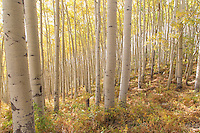 This hillside of white aspens seemed to glow in the afternoon sunlight.  I saw the general composition from the road, and scrambled down the embankment to fine-tune the arrangement of the trees.  While I was down amongst the aspens, another vehicle came roaring up and fishtailed to a halt.  The driver hopped out, snapped a dozen photos on high-speed motor drive mode, and then zoomed on down the road.