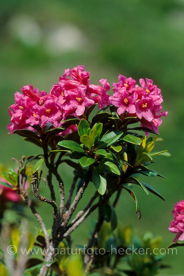 Rostblättrige Alpenrose, Rostrote Alpenrose, Rostroter Almrausch, Alpen-Rose, Rhododendron ferrugineum, snow-rose, rusty-leaved alpenrose, rusty-leaved alprose