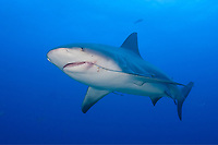 bull shark, Carcharhinus leucas, broken jaw, note longline trailing from mouth, Bahamas, Caribbean, Atlantic