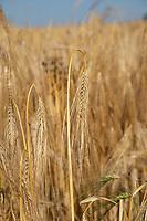 Ripe winter barley - Norfolk, July