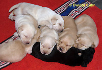 SH36-521z  Lab Dogs, 2 week old young, genetic variations of black, yellow, cream [white], Labrador Retriever