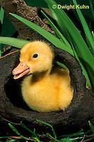 DG20-043z  Pekin Duck - duckling