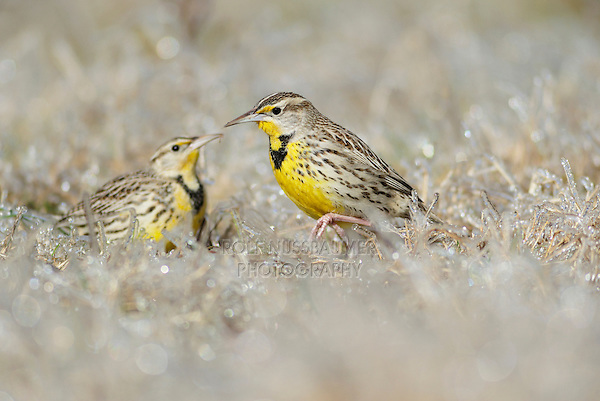 Eastern Meadowlark (Sturnella magna), adults walking on ice covered grass, Dinero, Lake Corpus Christi, South Texas, USA