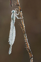 Blue-tipped Dancer (Argia tibialis), Ice-covered female clinging to vegetation, Howell Woods Environmental Learning Center, Four Oaks, North Carolina, USA