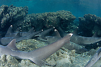 Whitetip reef shark, Triaenodon obesus, Haha-jima, Bonin Islands, Ogasawara, Tokyo, Japan, Pacific Ocean