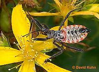"0715-07yy  Assassin bug/Wheel bug ""Nymph"" - Arilus cristatus - © David Kuhn/Dwight Kuhn Photography"