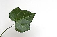Gewöhnlicher Efeu, Blatt, Hedera helix, Common Ivy, Lierre grimpant