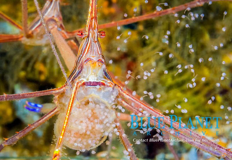 yellowline arrow crab, Stenorhynchus seticornis, releasing eggs, Blue Heron Bridge, Lake Worth Lagoon, Riviera Beach, Palm Beach County, Florida, USA, Atlantic Ocean