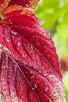 Rain droplets on Coleus Solenostemon red foliage