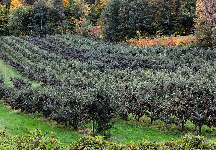 Apple orchard, Bennington, Vermont, USA.