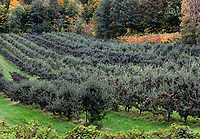 Apple orchard, Bennington, Vermont, USA.