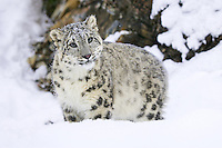 Snow Leopard standing in the snow in front of a rocky wall - CA