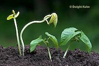 HS69-505z  Bean Seedlings, Plants grown in light [right],  Plants grown in complete darkness [left]
