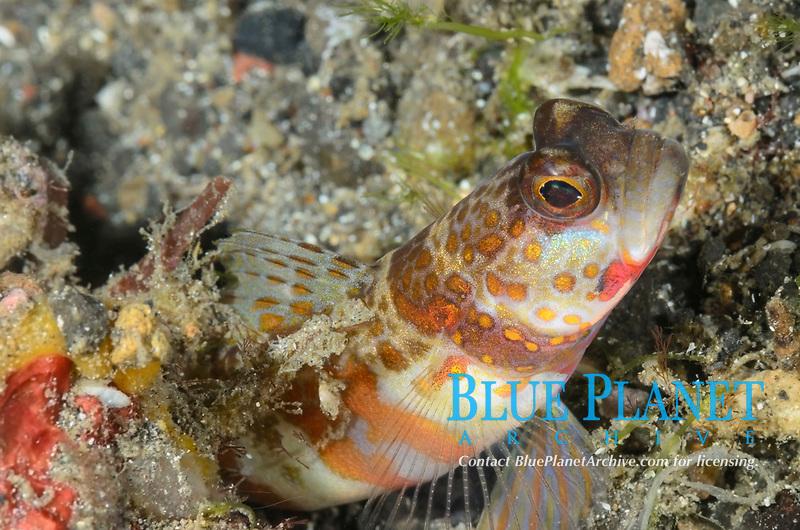 Freckled shrimp goby, Amblyeleotris sp., Lembeh Strait, North Sulawesi, Indonesia