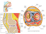Depicts the anatomy of the knee joint shown from both mid-sagittal (cut-away) and superior (top) views. Labeled structures include the tendon of the quadriceps femoris muscle, femur, patella, infrapatellar fat pad, meniscus, patellar ligament, tibia, femoral condyle, anterior cruciate ligament, fibula, medial meniscus, lateral meniscus, posterior cruciate ligament, popliteal blood vessels, medial/lateral collateral ligaments, tibial nerve and common peroneal nerve.