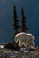 Mountain Goat billy walks along high mountain ridge, Western U.S.