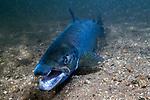 Landlock Atlantic Salmon male laying on sand bottom facing camera in Lake Sunapee, New Hampshire