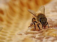 The bee sucks up honey to fill its crop. Honey is the adult bees' food. It provides them with energy for flying and for regulating the temperature of their bodies and that of the colony.<br /> L'abeille aspire du miel pour remplir son jabot. Le miel est la nourriture des abeilles adultes. Il leur apporte énergie pour le vol et pour régulation thermique de leur corps et de la colonie.