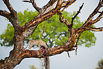 Female Leopard (Panthera pardus) feeding on a wildebeest kill dragged into a tree. Serengeti National Park, Tanzania.