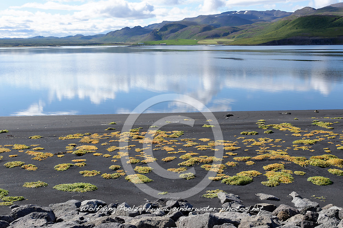 Halophyten, Salzpflanzen Salztolerante Pflanzen in der Meeresbucht bei Lonslon im Norden von Island, with halophytes, salt tolance plants, Marine Bay Lonslon in the North of Iceland