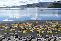Halophyten, Salzpflanzen Salztolerante Pflanzen in der Meeresbucht bei Lonslon im Norden von Island, with halophytes, salt tolance plants, Marine Bay Lonslon in the North of Iceland