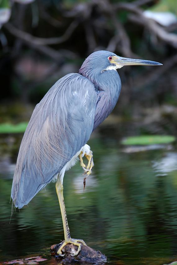 Blue Egret, Hugh Taylor Birch State Park, Ft LAuderdale, Florida