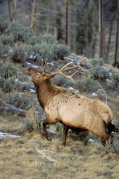 Rocky Mountain Elk bull (Cervus elaphus) running.  Western U.S., Fall.